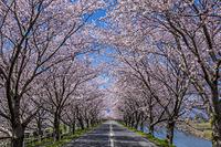 桜並木と車道