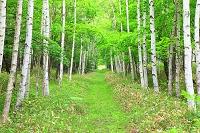 北海道 上士幌町 白樺並木の小道