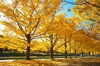 日本 東京都 国営昭和記念公園 イチョウ並木の黄葉