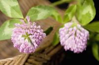 アカツメクサの花