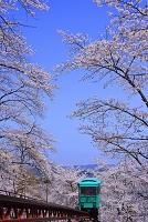宮城県 桜並木のトンネルをくぐるスロープカー