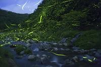 ゲンジボタルの光跡