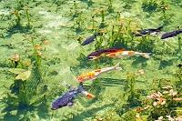 岐阜県 根道神社の池 通称モネの池