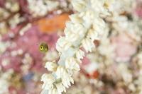 柏島 アオサハギの幼魚