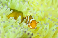 インドネシア コモド諸島 カクレクマノミ