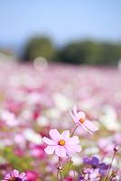 奈良県 藤原宮跡のコスモス畑