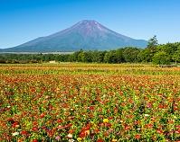 山梨県 百日草と富士山