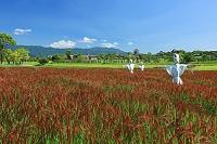 佐賀県吉野ヶ里歴史公園 赤米