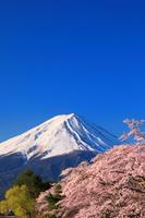 山梨県 朝の富士山と桜