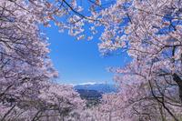 長野県 タカトオコヒガンザクラ咲く高遠城址公園より中央アルプス
