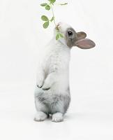 立ち上がって餌を食べるウサギ