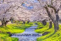 福島県 観音寺川のサクラ
