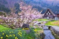 岐阜県 桜の咲く白川郷合掌村