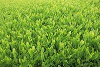 静岡県 新茶の茶畑