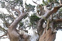 静岡県 大瀬崎 ビャクシンの大木