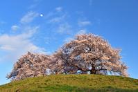 埼玉県 行田市 さきたま古墳公園のソメイヨシノ