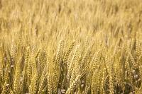 佐賀県 小麦畑