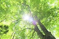 青森県 白神山地のブナ林と木漏れ日