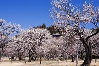 茨城県 梅咲く偕楽園