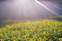 長野県 上田市 宮沢地区 ヒマワリ畑と夕日の木漏れ日の光芒