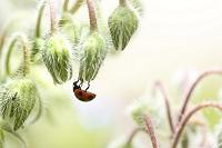 てんとう虫とボリジのつぼみ