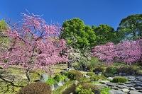 京都府 城南宮の枝垂れ梅