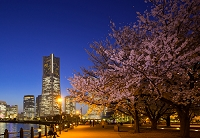 神奈川県 ランドマークタワーと桜