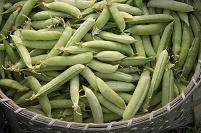 奈良県 エンドウ豆