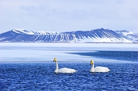 アイスランド ミーヴァトン湖 白鳥