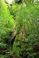 鹿児島県 屋久島 大株歩道に立つ世界自然遺産の大王杉と新緑の...