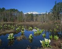 長野県・乗鞍高原 どじょう池のミズバショウと乗鞍岳
