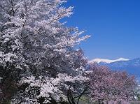 山梨県 桜咲く八代ふるさと公園より南アルプス(間ノ岳、北岳)