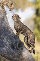 ボツワナ オカバンゴ湿地帯 チーター