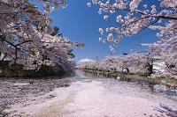 青森県 桜散る弘前公園外濠と岩木山
