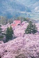 長野県 高遠城址公園