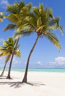 ドミニカ共和国 ヤシの木