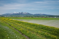 北海道 中富良野町 十勝岳連峰と水田とタンポポ