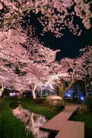 石川県 桜の咲く兼六園
