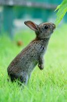 広島県 大久野島 アナウサギの赤ちゃん