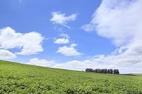北海道 美瑛 マイルドセブンの丘と青空