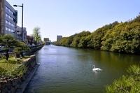 兵庫県立明石公園 桜堀