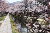 満開の関雪桜 哲学の道 洛東 京都
