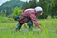 田植えをする女性