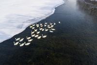 北海道 白鳥 屈斜路湖