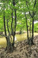 沖縄県 ヨシケラ川とマングローブ