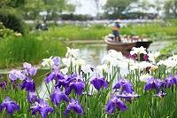 千葉県 佐原水生植物園のハナショウブ