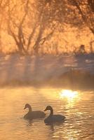北海道 オオハクチョウとケアラシと朝陽