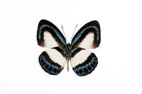 蝶 標本 ルリカザシジミ ニューギニア