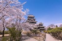 長野県 松本城と桜
