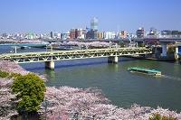 東京都 隅田公園の桜